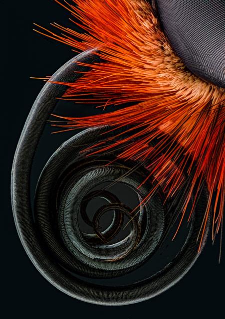 Le proboscis d'un papillon - 4e place au Nikon Small World.