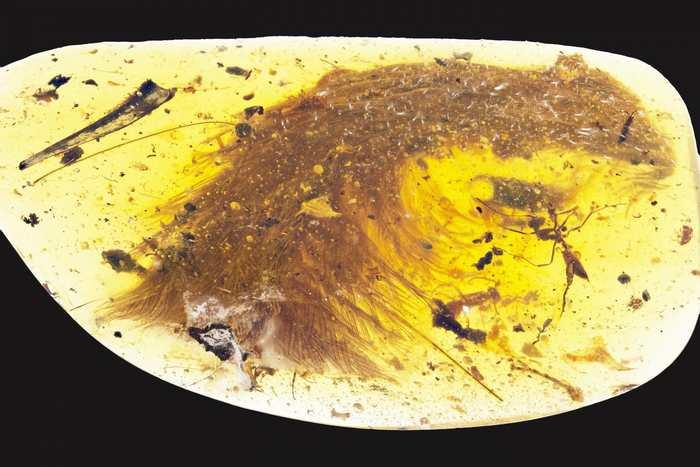 La partie d'une queue entourée de plumes d'un dinosaure qui a été piégé dans l'ambre - CREDIT : Royal Saskatchewan Museum (RSM/ R.C. McKellar)