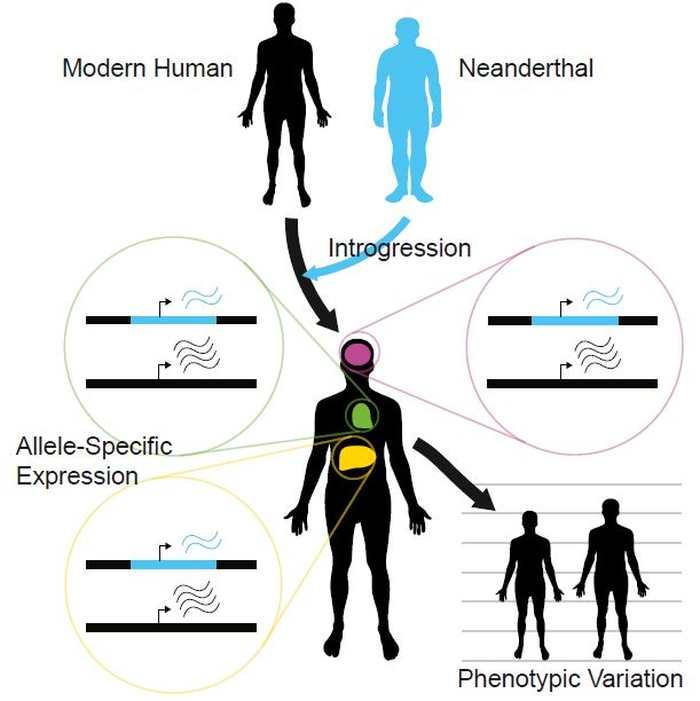 Les différences dans les allèles entre le Néandertal et l'humain moderne - Crédit : McCoy et al./Cell 2017