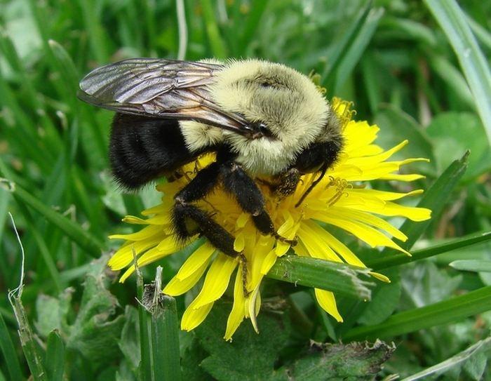"""Il y a 80 millions d'années, un groupe d'abeilles a commencé à adopter un comportement social tel que le fait d'élever des jeunes, partager les ressources alimentaires ou défendre leur colonie. Aujourd'hui, les descendants de ces """"pionniers"""" sont les abeilles domestiques, les abeilles sans aiguillon et les bourdons. Et toutes ces abeilles contemporaines ont gardé 5 espèces de microbes qui ont évolué avec elles pendant ces 80 millions d'années."""