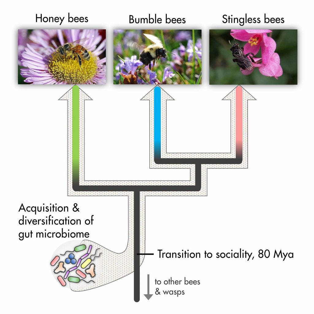 L'arbre généalogique évolutionnaire des bactéries intestinales des abeilles - Crédit : Waldan K. Kwong and John. S. Ascher