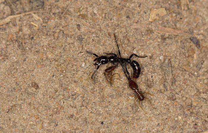 Une fourmi blessée au combat. Elle a des termites incrustées dans son corps - Crédit : Frank et al. Sci. Adv. 2017;3:e1602187