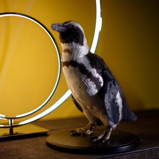 Penguin Taxidermy