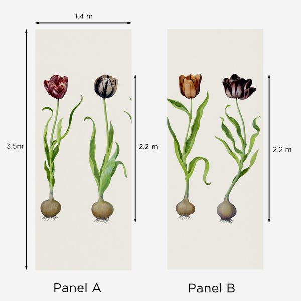 Tulips_dimensions