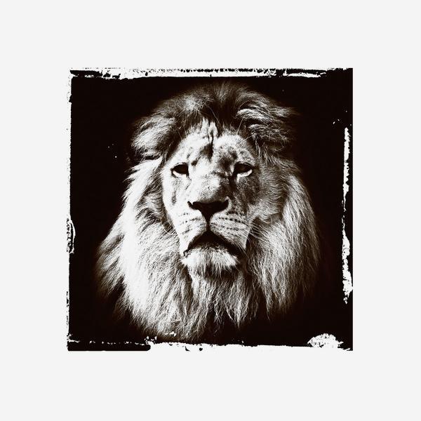 Lion_Gaze