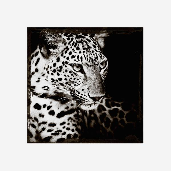Leopard_Gaze
