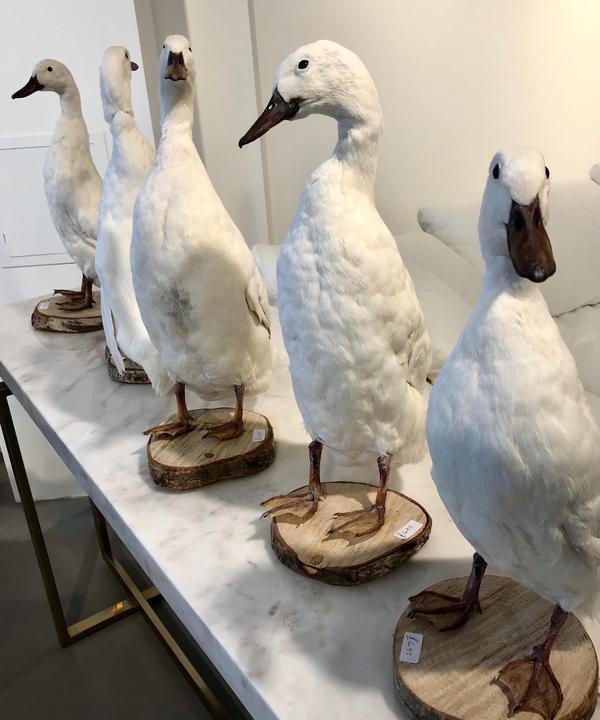 White_Ducks_AM_White