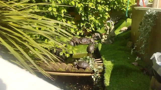 Image 3 of turtles/terrapins rescue .. fb turtle man rescue Liverpool