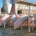 Sono oltre 800 le aziende suinicole attive in provincia di Cuneo