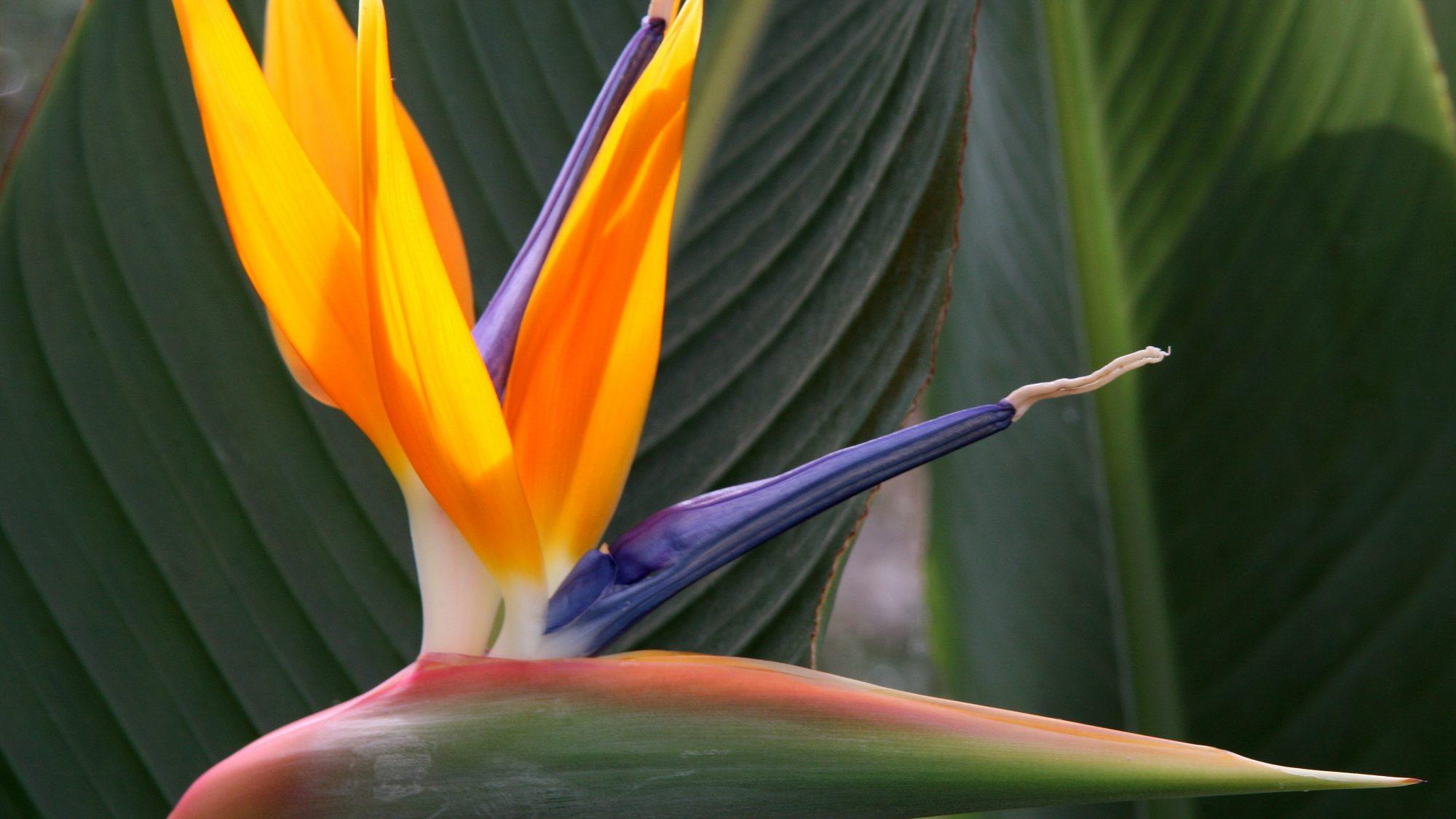 Strelitzia also known as Bird of Paradise.