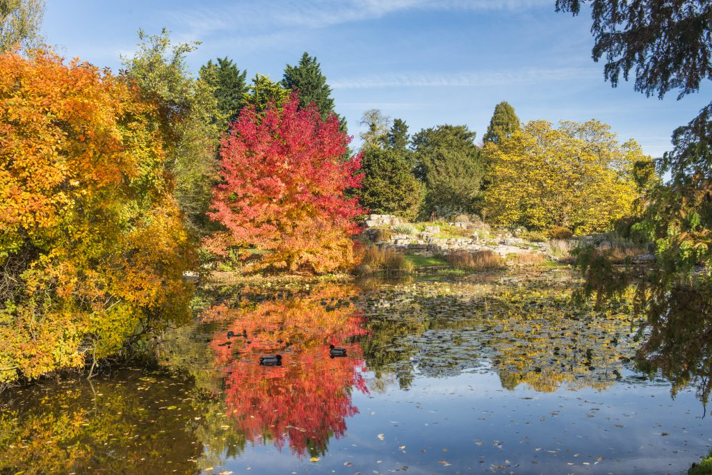 Liquidambar styraciflua 'Worplesdon'. A red and orange tree on the edge of the Lake.