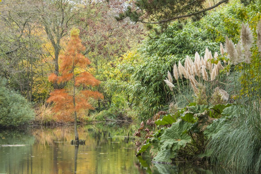 Taxodium distichum. A small tree with orange autumn leaves growing out of the lake.