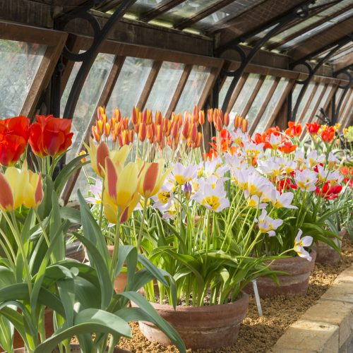 Our species of tulips are in flower