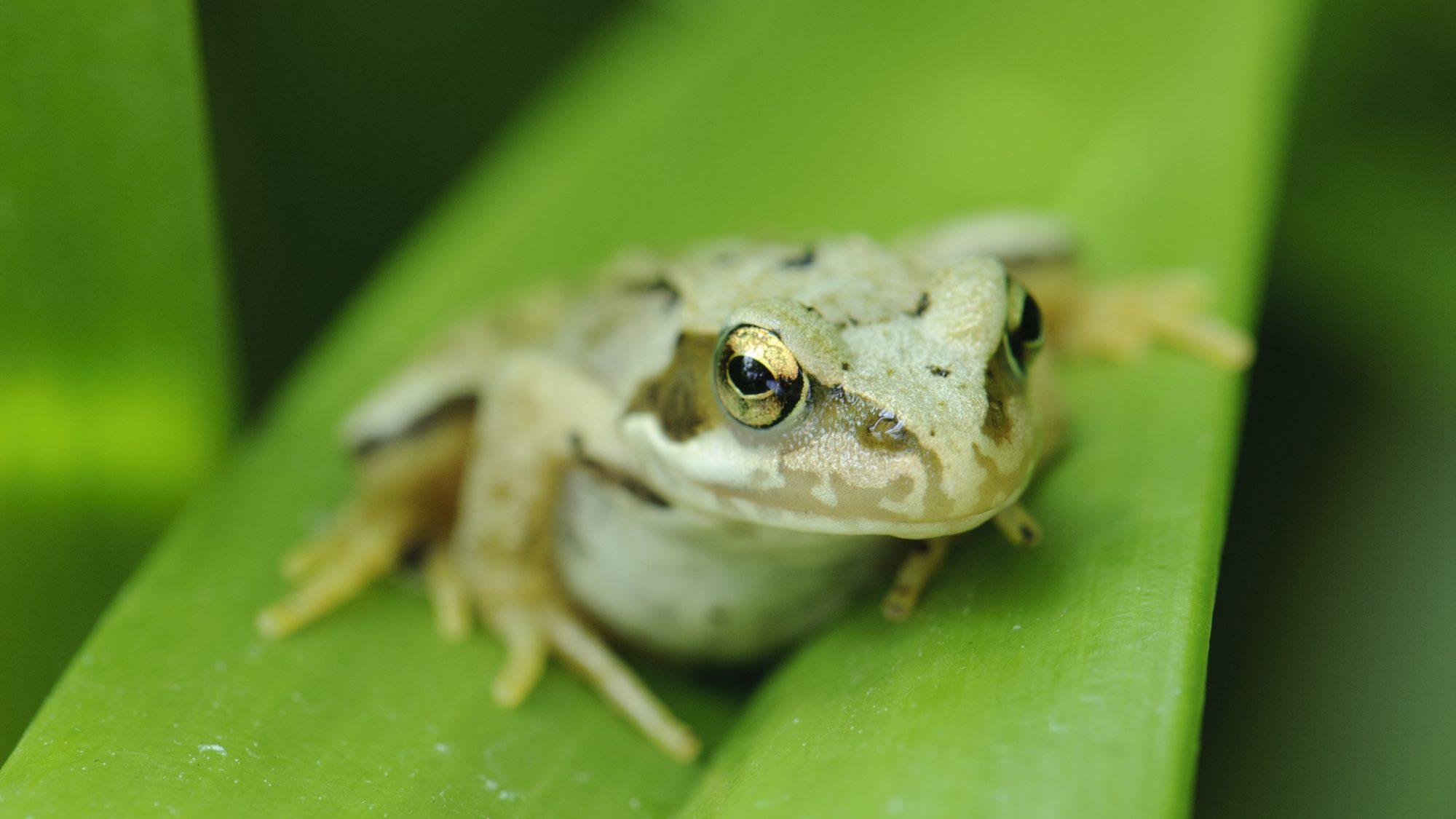 A frog sitting on a leaf.