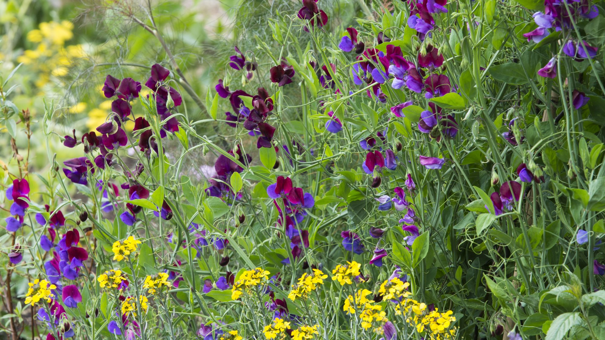 Sweet peas in their full summer glory on the Chronological beds.