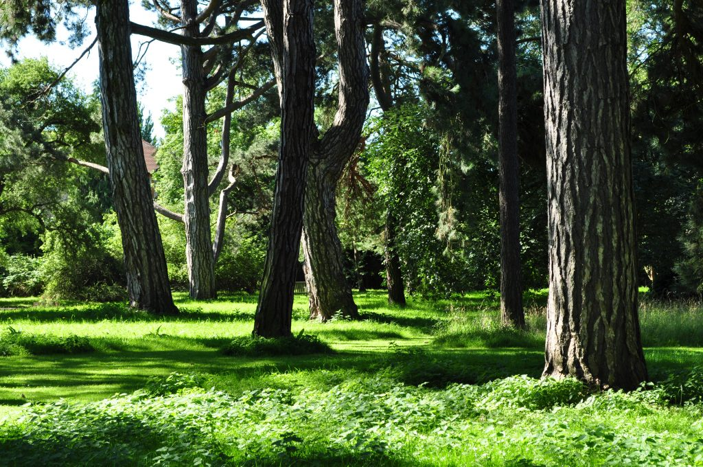 Old Pinetum. Dappled sunlight streaming through the heritage trees on to soft grass.