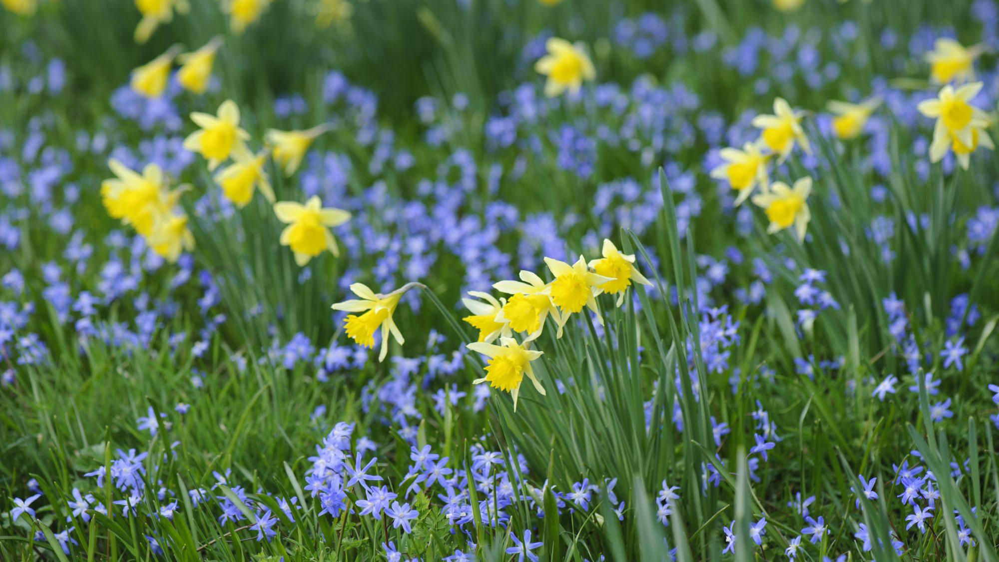 Narcissus interplanted with Scilla.