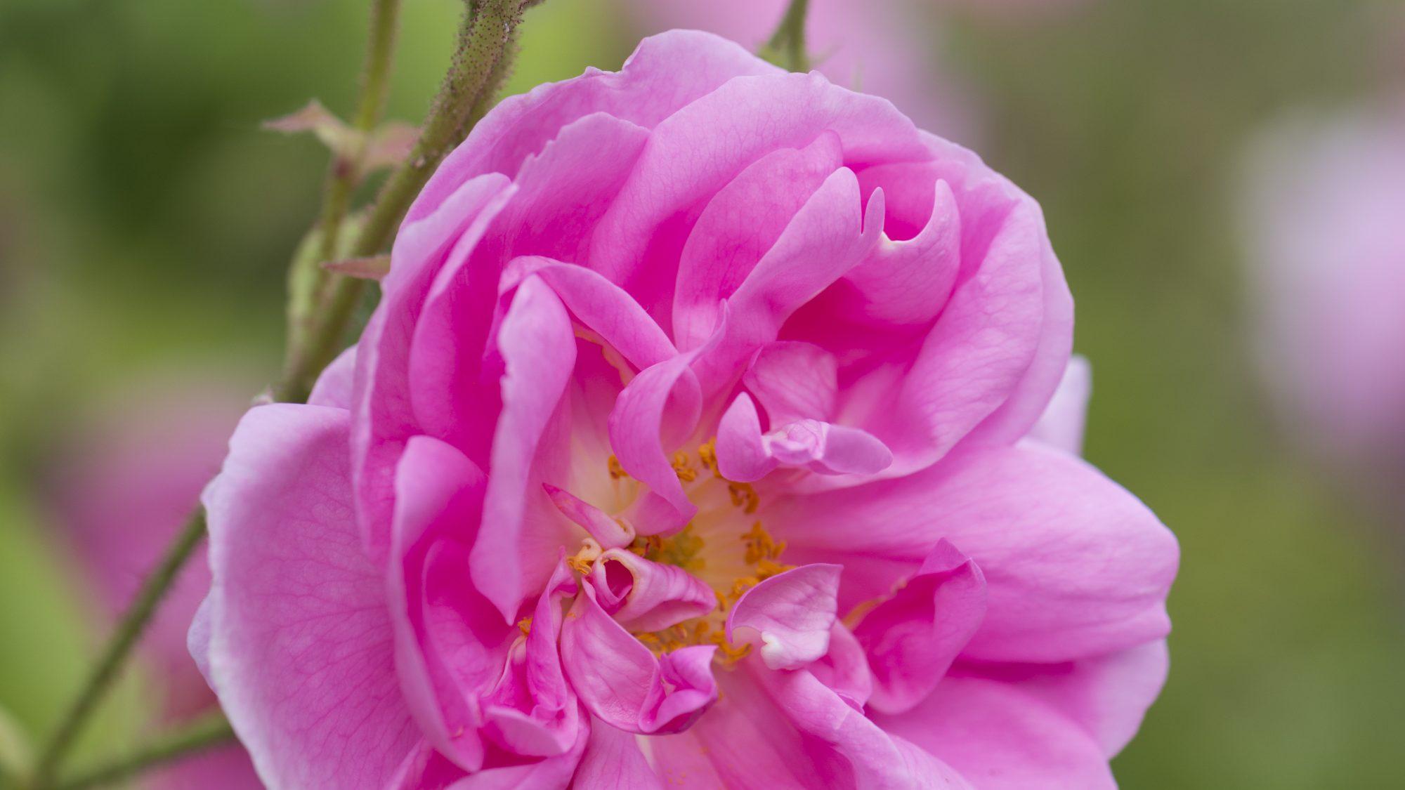 Spring flowering rose in the rose garden.