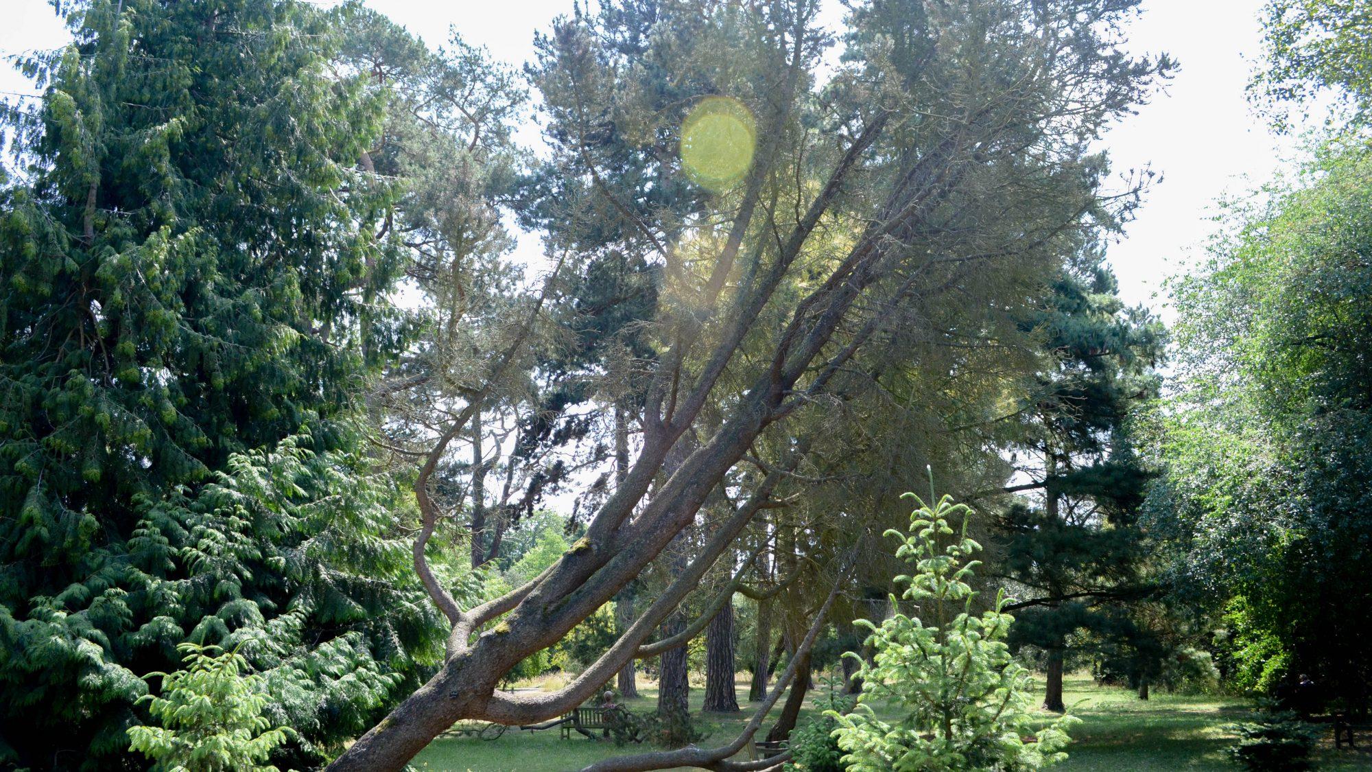 Pinus monophylla (single-needled pine), in the old pinetum.