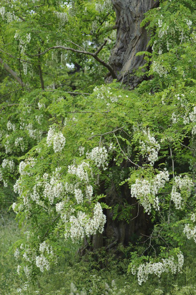 Robinia pseudoacacia. Tree with hanging white flowers.