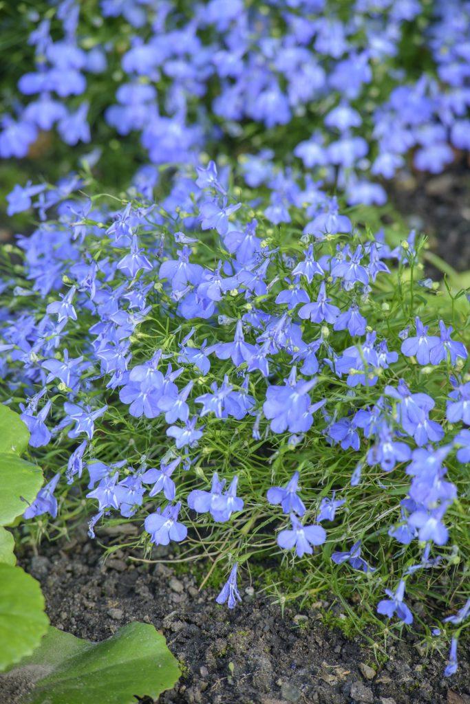 Lobelia erinus, a small blue/purple flower.