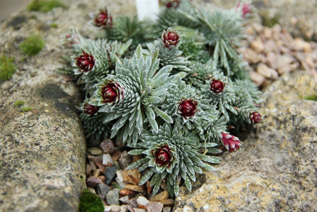 Photograph of the alpine plant Saxifraga sempervivum, which has spikey green leaves and red flowers.