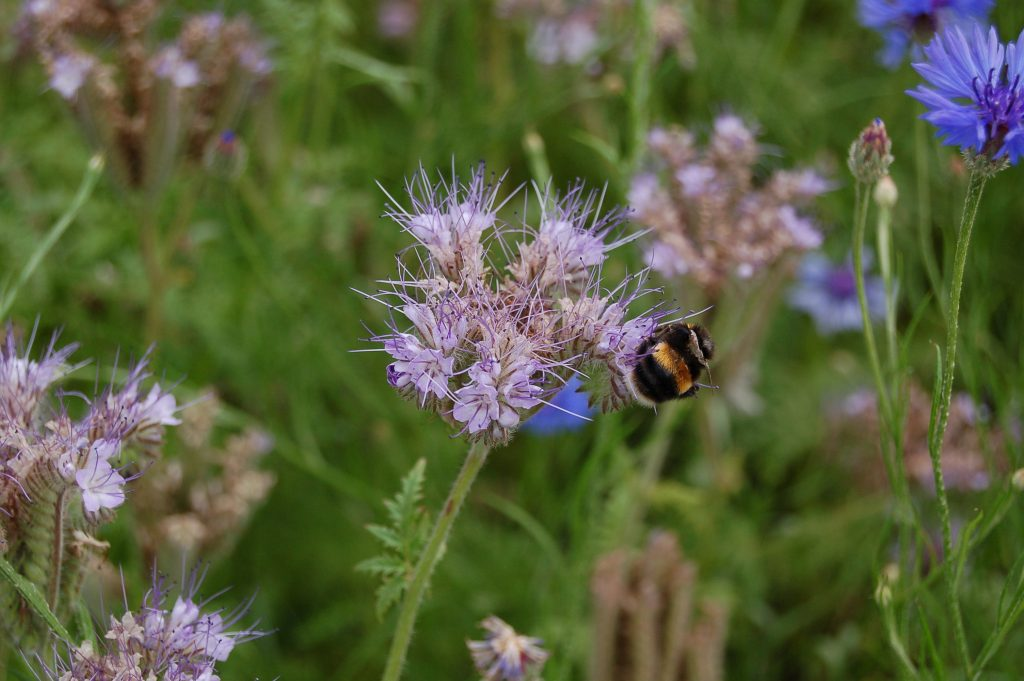 Phacelia tancetifolia, bee annual mix in Understanding Plants.