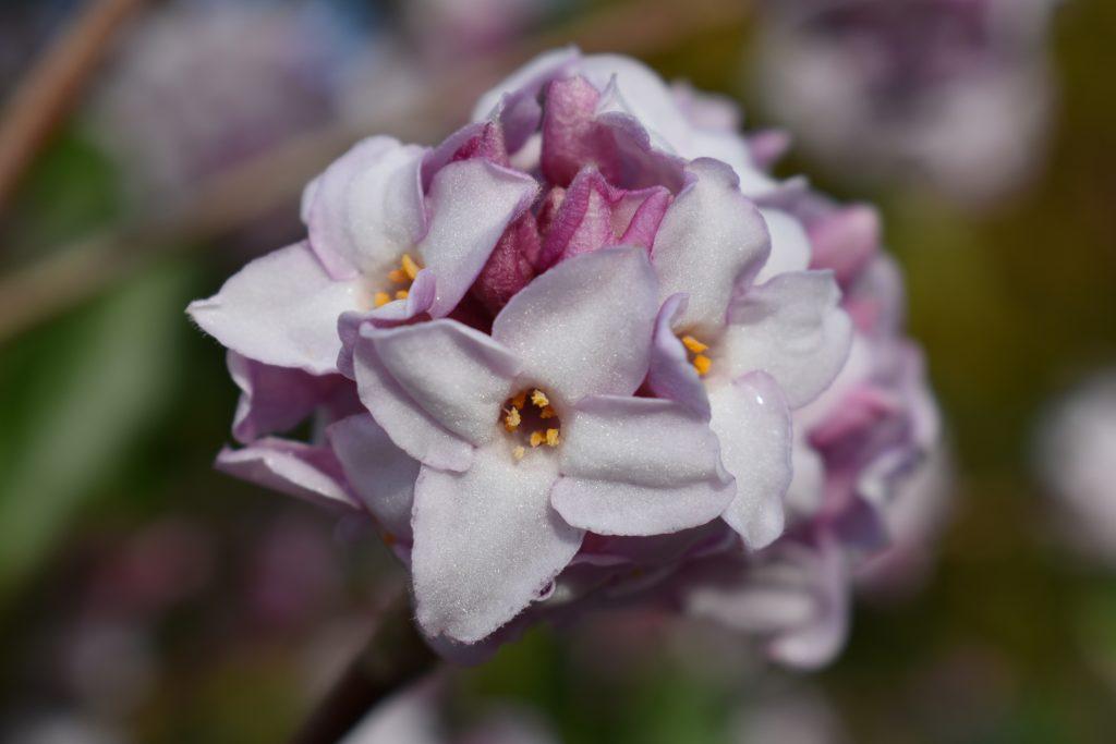 The Winter Garden, Daphne bholua 'Jacqueline Postill'