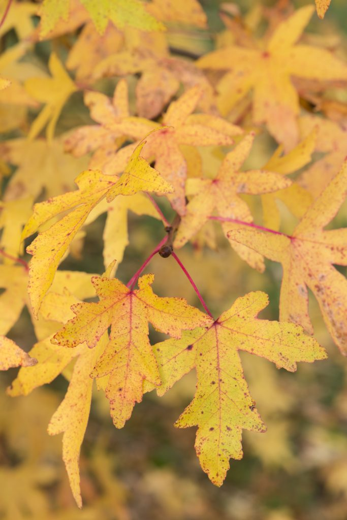 Leaves of the Liquidambar orientalis.
