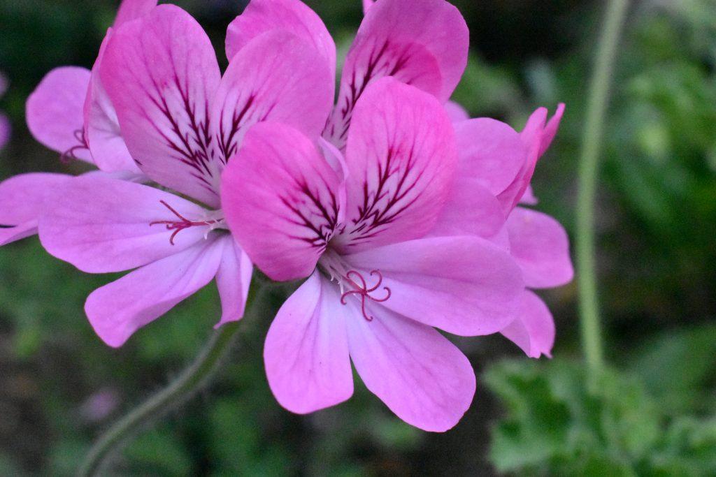 Pelargonium 'Pink Capitatum'