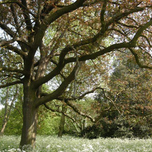 Quercus x warburgii
