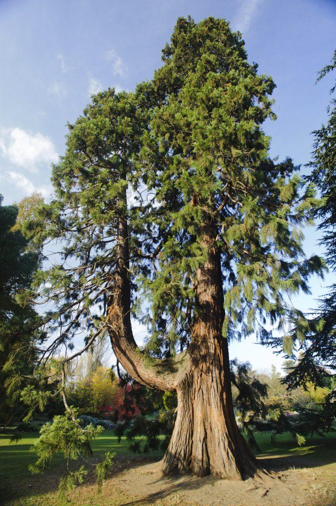 Sequoiadendron giganteum along the Main Walk