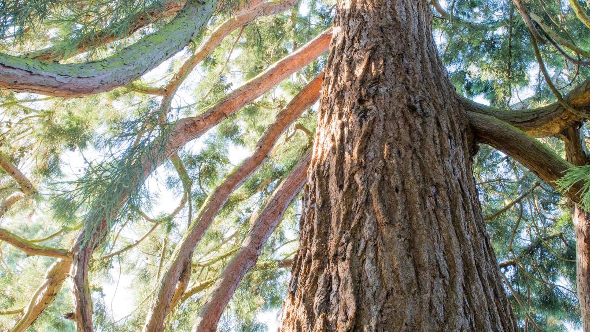 Sequoiadendron giganteum Taxodiaceae (Redwood family)