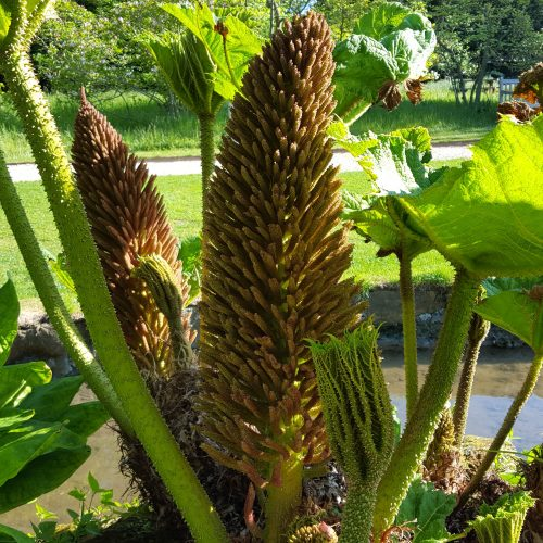 How to protect Gunnera manicata over winter