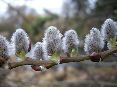 Willow (Salix)