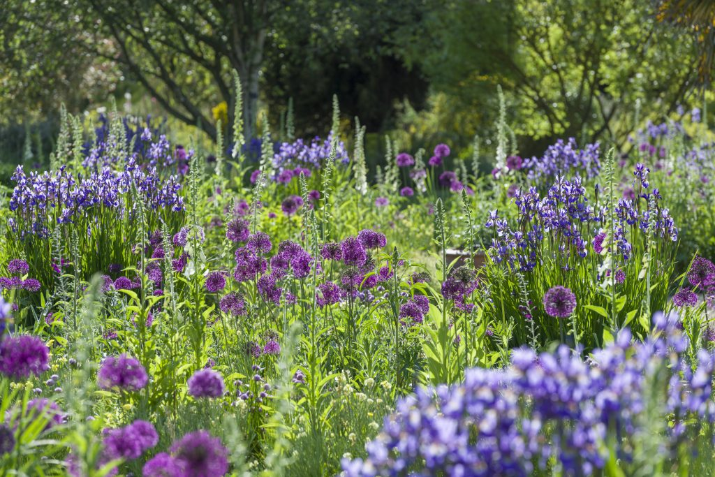 Close up of the Bee Borders, with warm and cool purple flowers on tall stems.