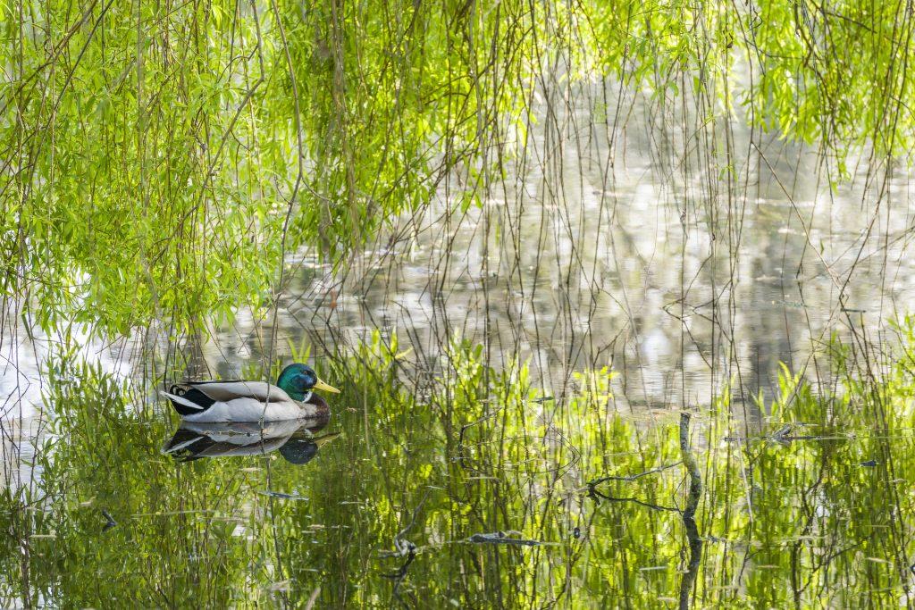 A duck enjoying a swim in the Lake.