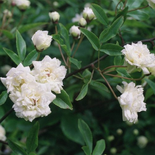ONLINE COURSE: The Regency flower garden