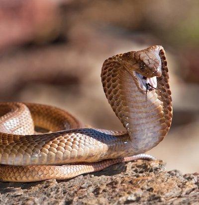 Mit einer wütenden Kobra ist nicht zu spaßen.