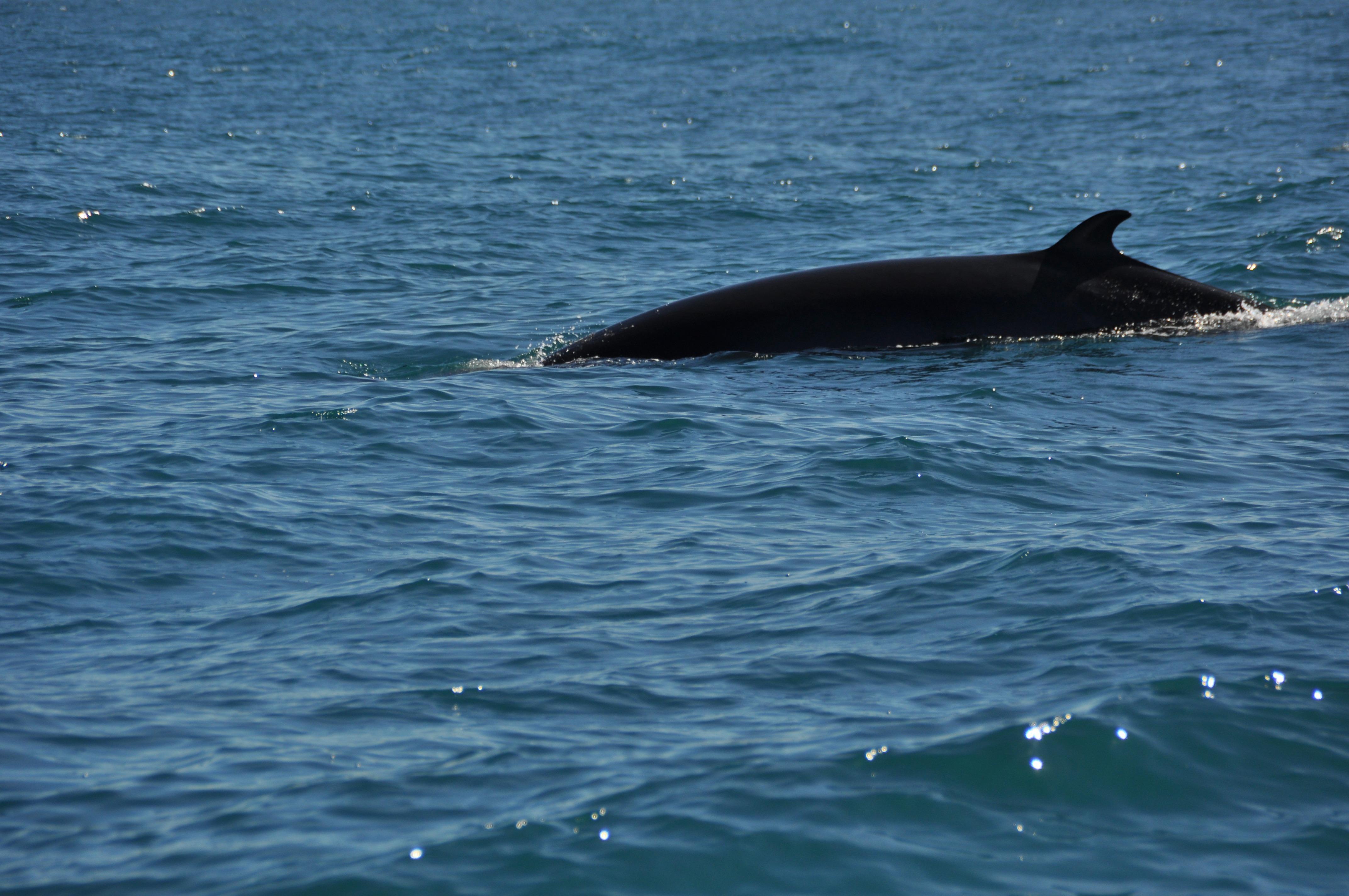 Minke whale 268242