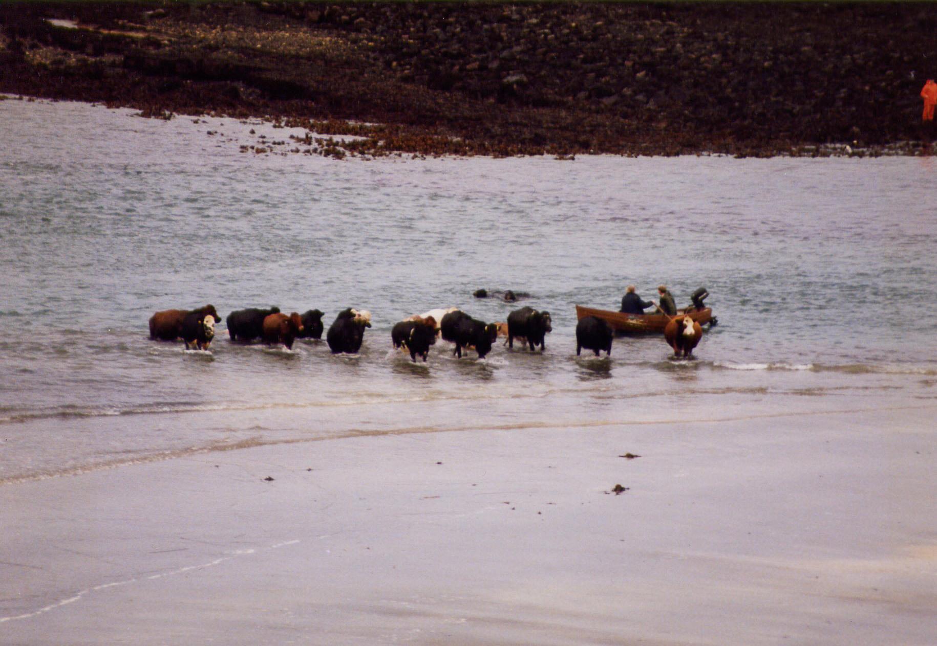 an-corran-cows.jpg