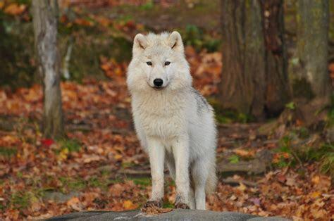 the-lone-wolf.jpg