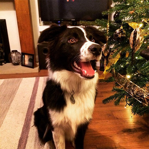 Smiley Border Collie by a Christmas Tree