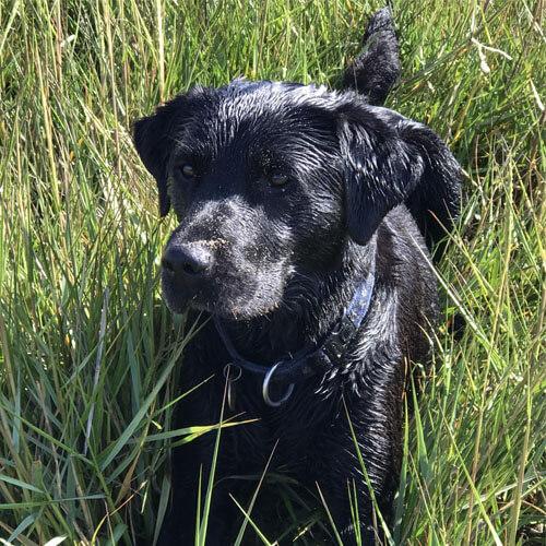 BorrowMyDoggy labrador in grass