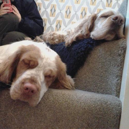 Sleepy Clumber Spaniels from BorrowMyDoggy