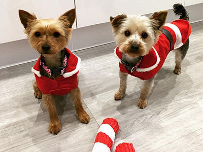 Two Yorkies from BorrowMyDoggy standing in a kitchen in Christmas jumpers