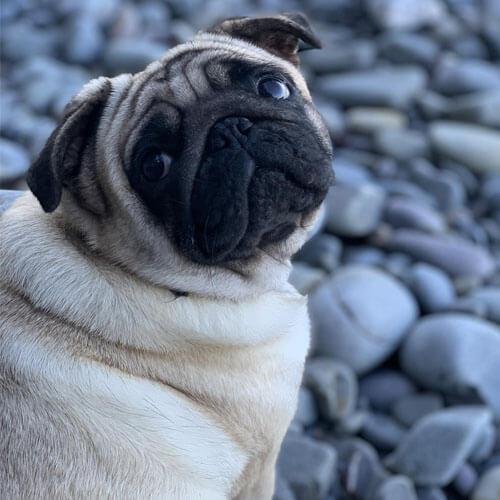 Pug looking adorable