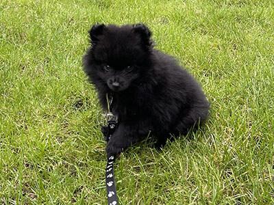 Black Pomeranian sitting on grass on their lead