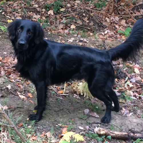 Sunny the Flat Coated Retriever from BorrowMyDoggy