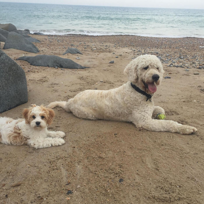 Goldendoodle Borrowmydoggy Leaving Pawprints Of Happiness